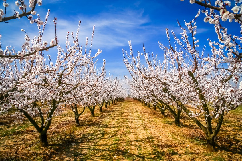 Blossoming cherry trees in orchard in France in spring